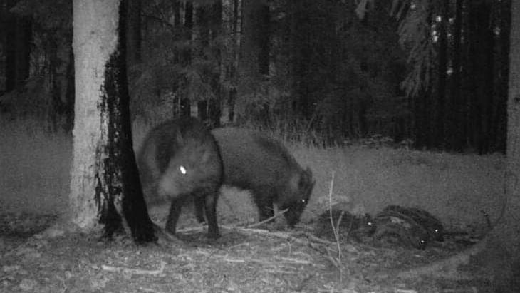 Noćna optika za lov na divje svinje